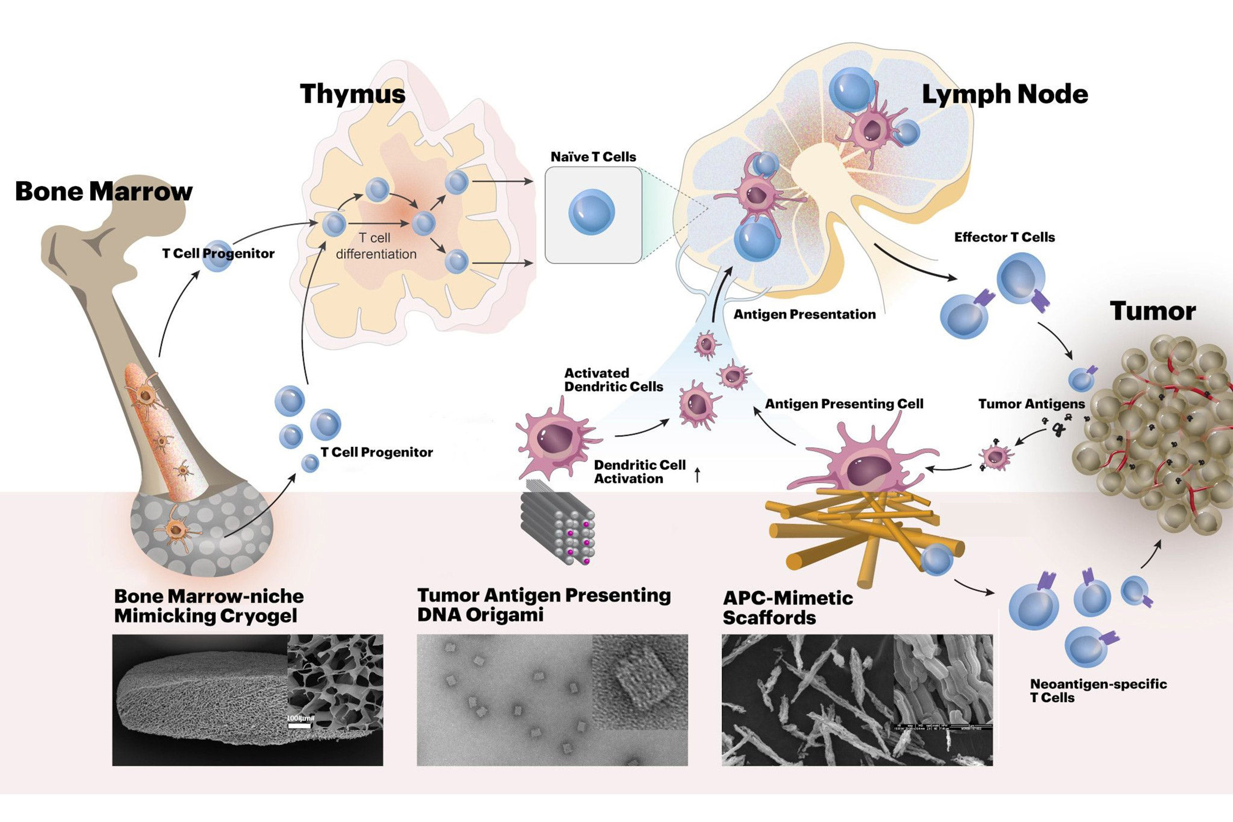 Harvard's i3 Center will develop new biomaterials-based approaches for cancer immunotherapy. The materials will enhance tumor-specific activities of cytotoxic T cells, acting at different stages of their development.