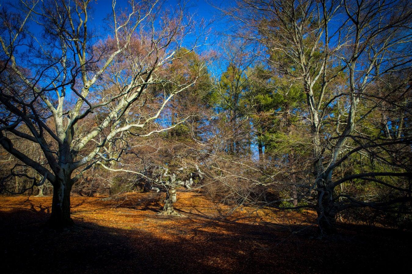 Trees in the Arnold Arboretum.