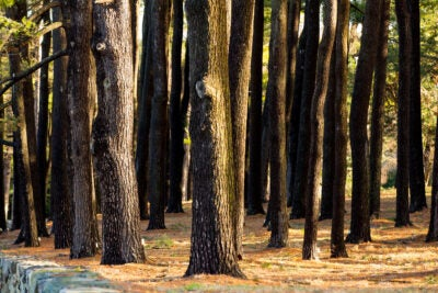 A stand of pine trees.