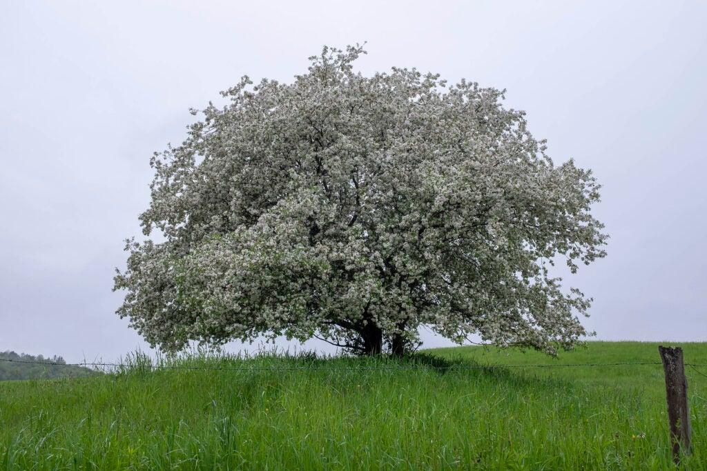 """Untitled 3,"" William Kipp. Leafy tree in field."