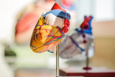 heart model.