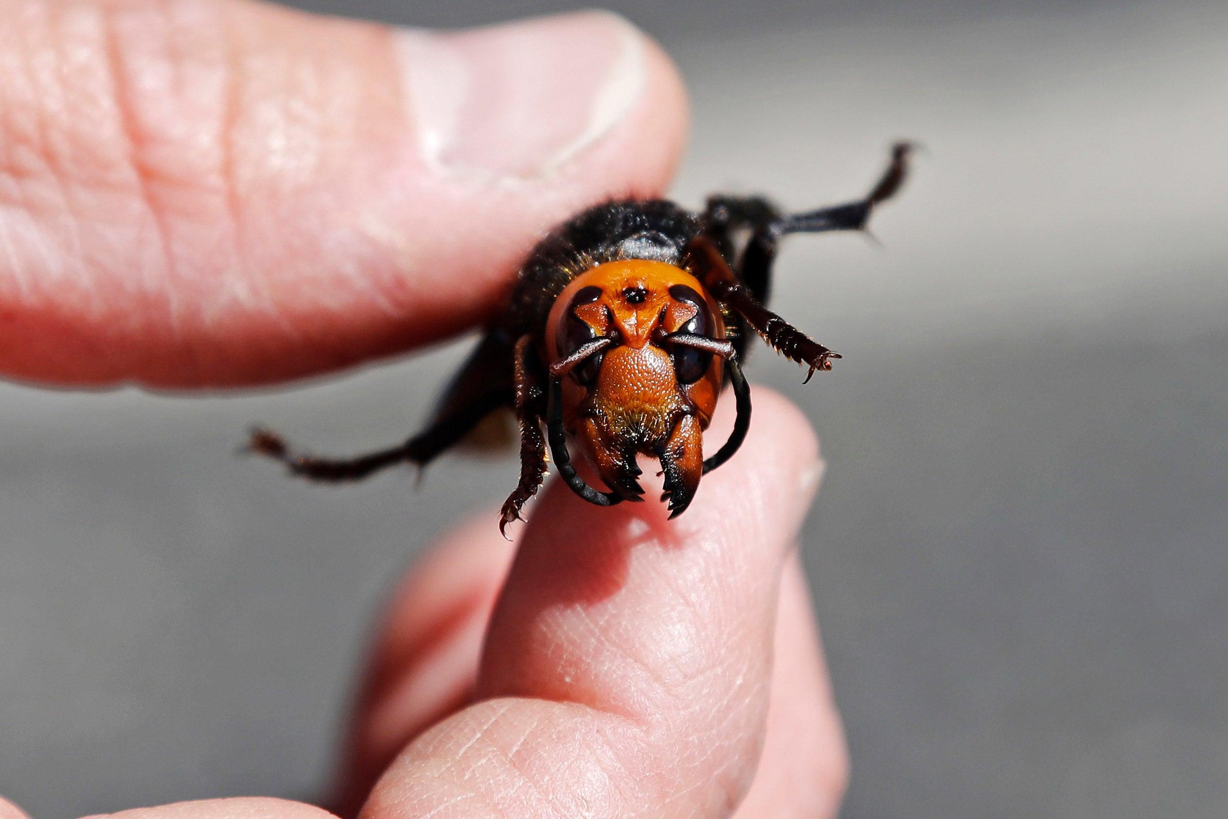 Asian hornet.