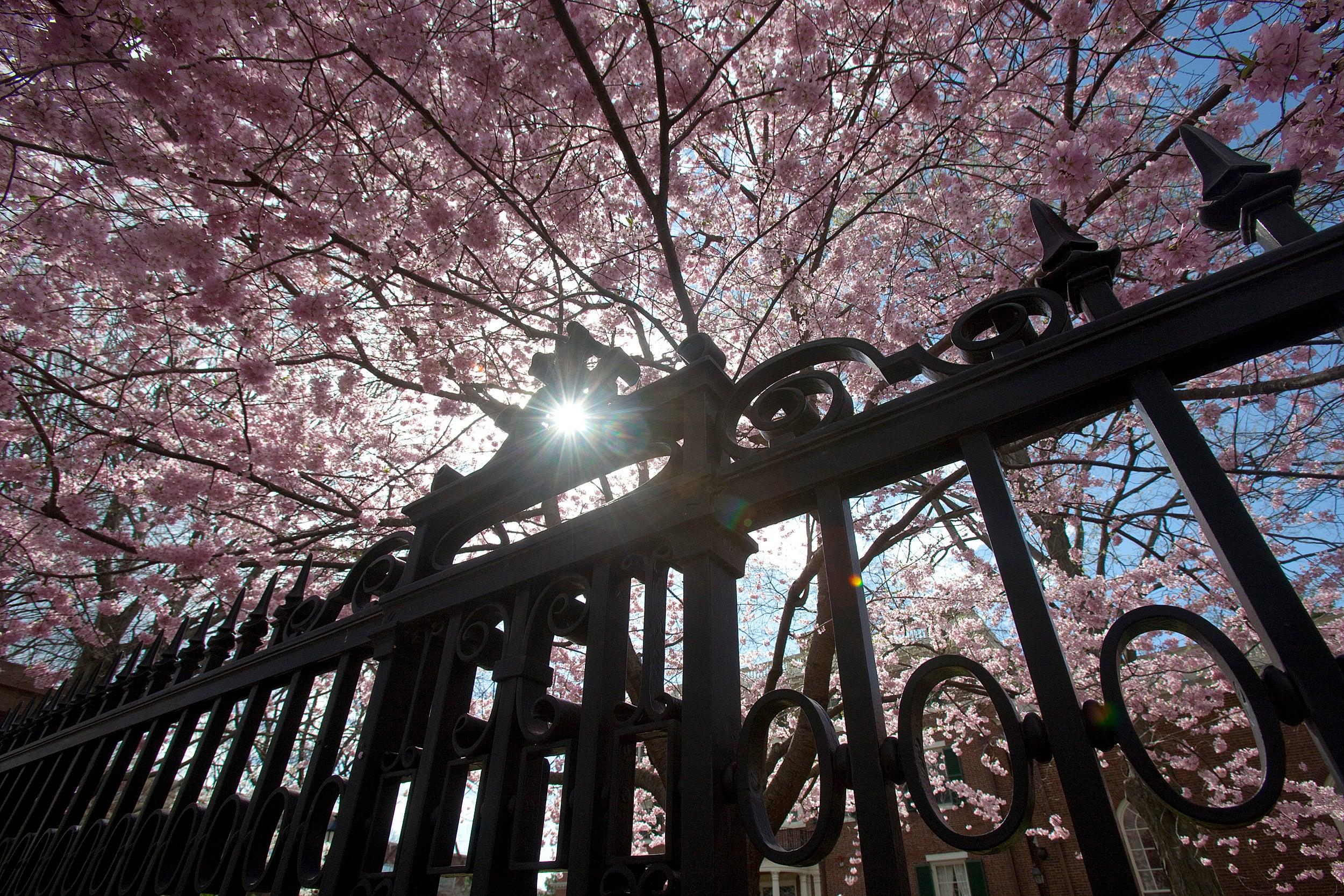 Cherry tree blossoms.