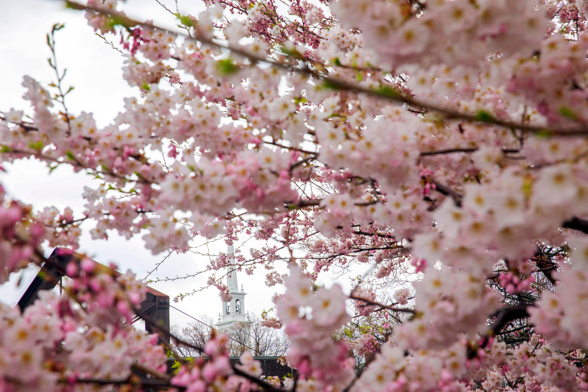 Cherry blossoms obscures the Science Center and Memorial Church.
