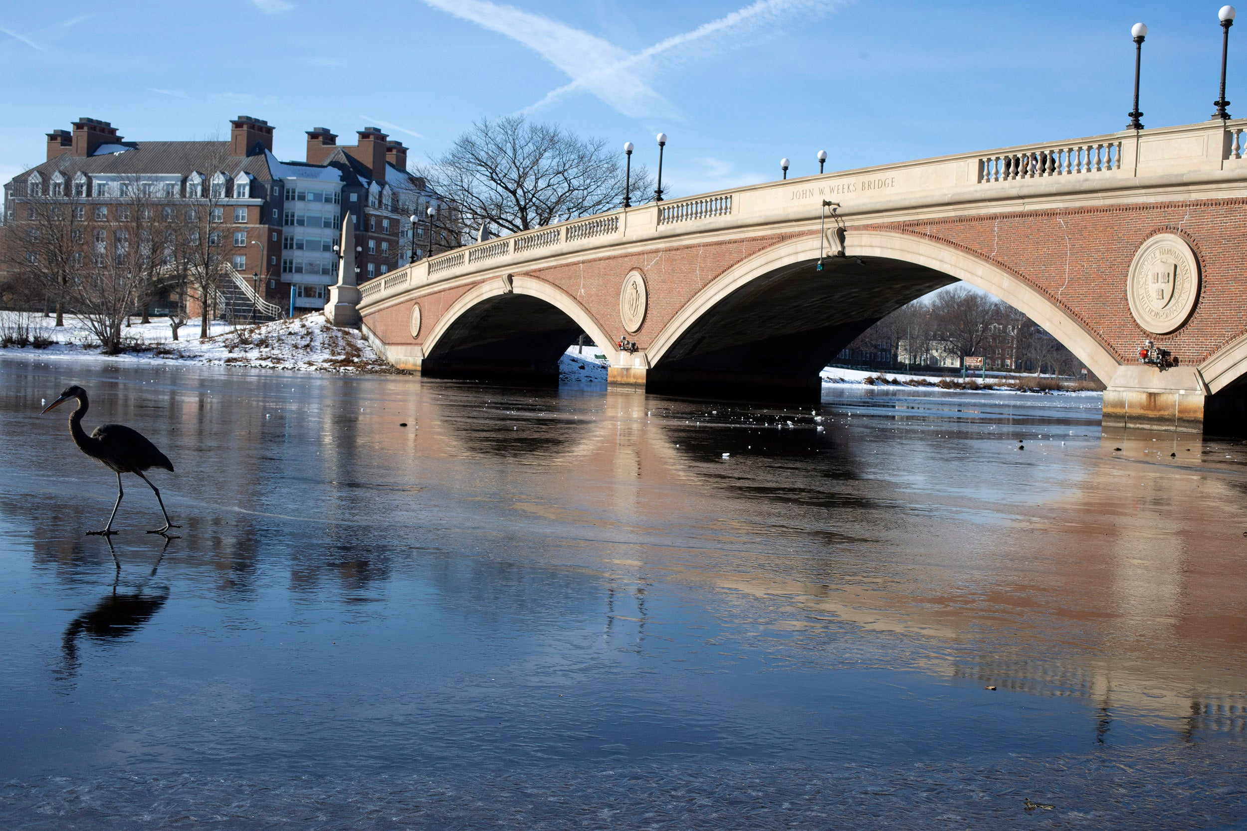 A great blue heron walks on ice near Weeks Bridge.