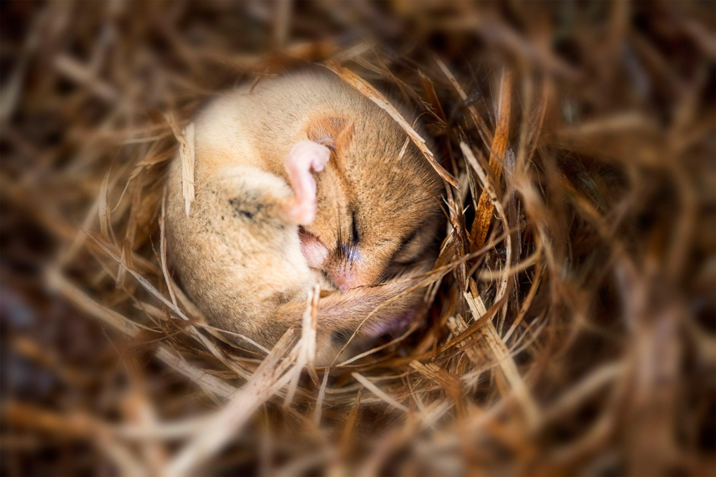 Hibernating dormouse