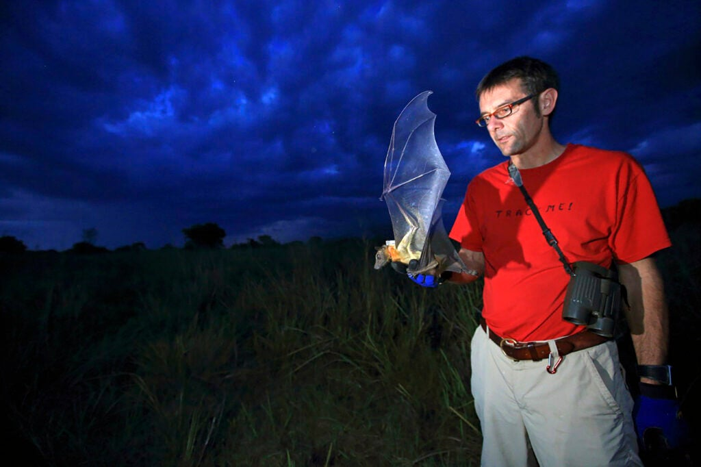 Tracking a hawk moth and a straw-colored fruit bat. Photos by Christian Ziegler (C)
