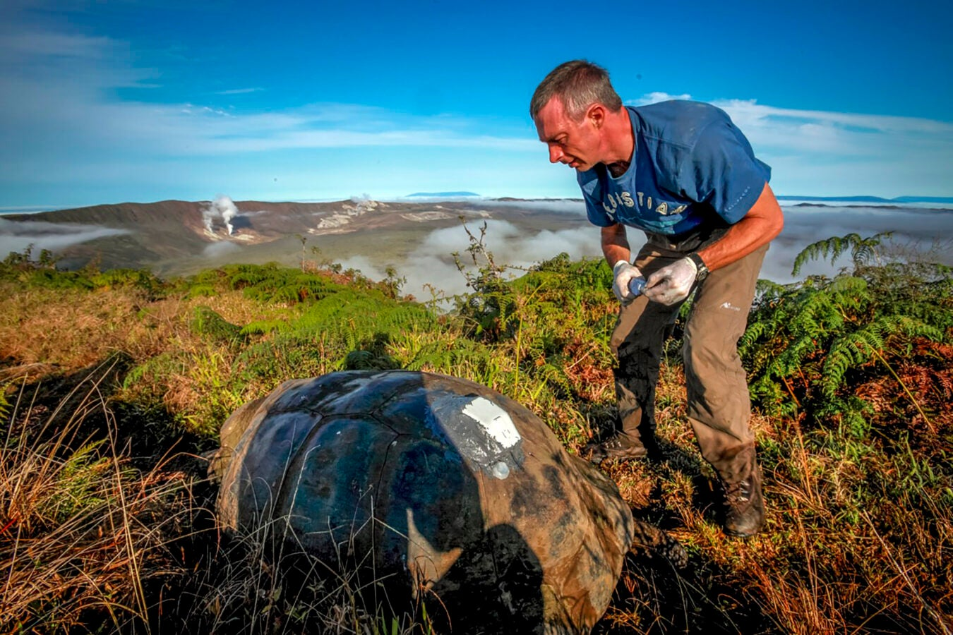 A Galapagos giant tortoise with a solar GPS tag. Tracking wildlife during the COVID-19 lockdown has given researchers new insights on animal movements. Photo by Christian Ziegler (C)