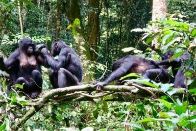 Bonobos together on a limb.