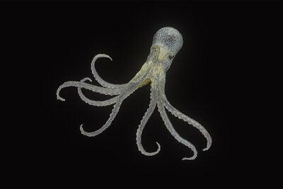 Octopus, Robsonella fontanianus.