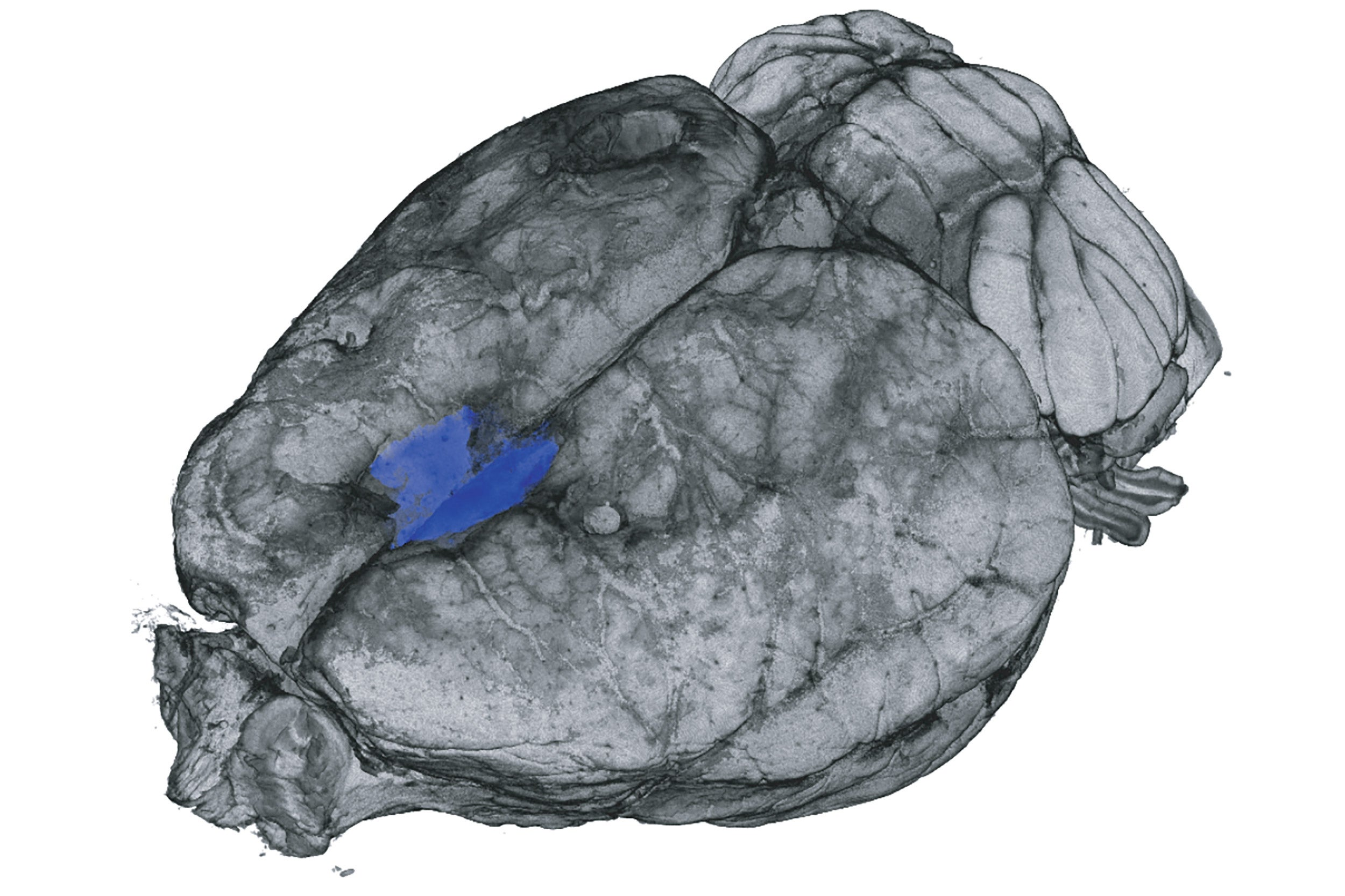 Rat brain scan.