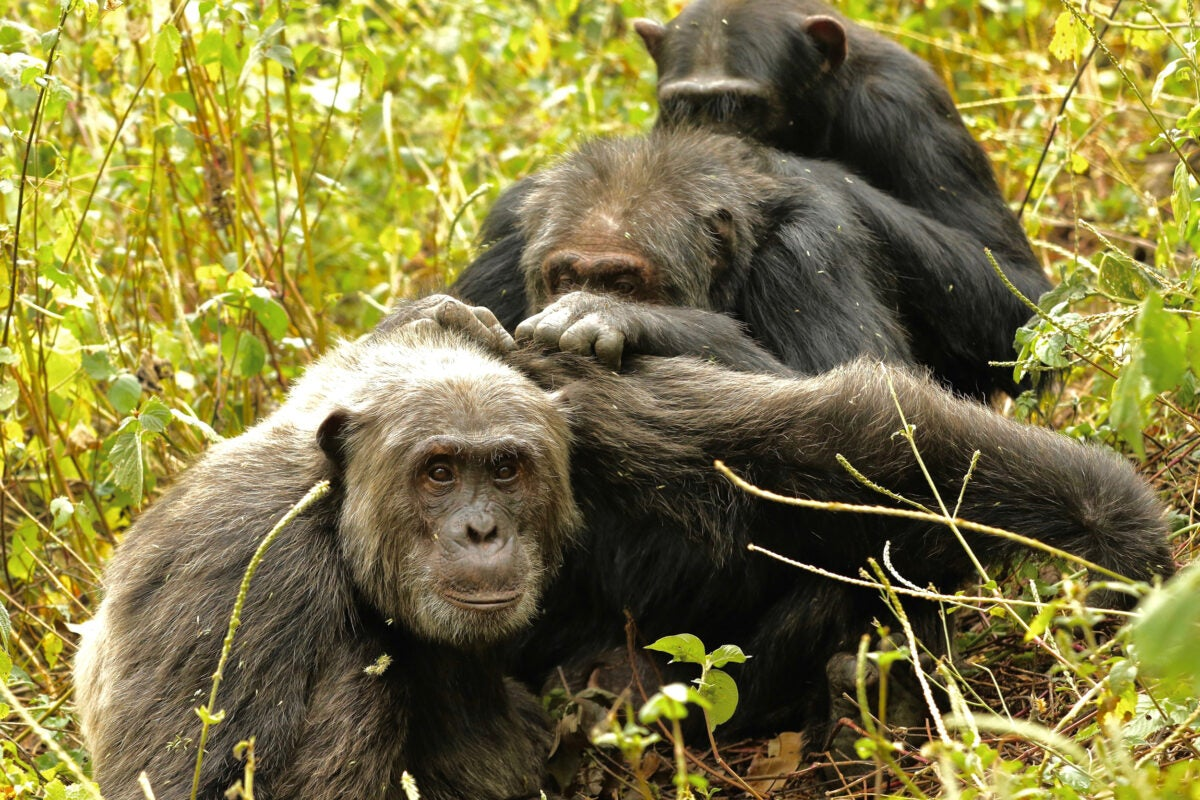 Group of chimps.