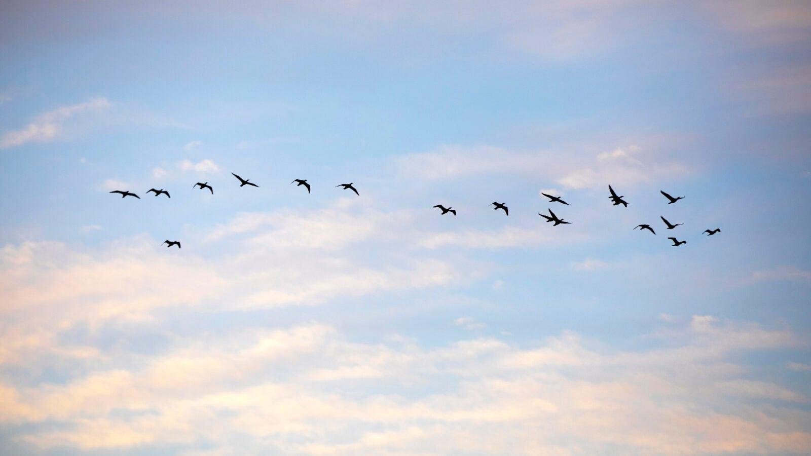 Cormorants fly across the morning sky.