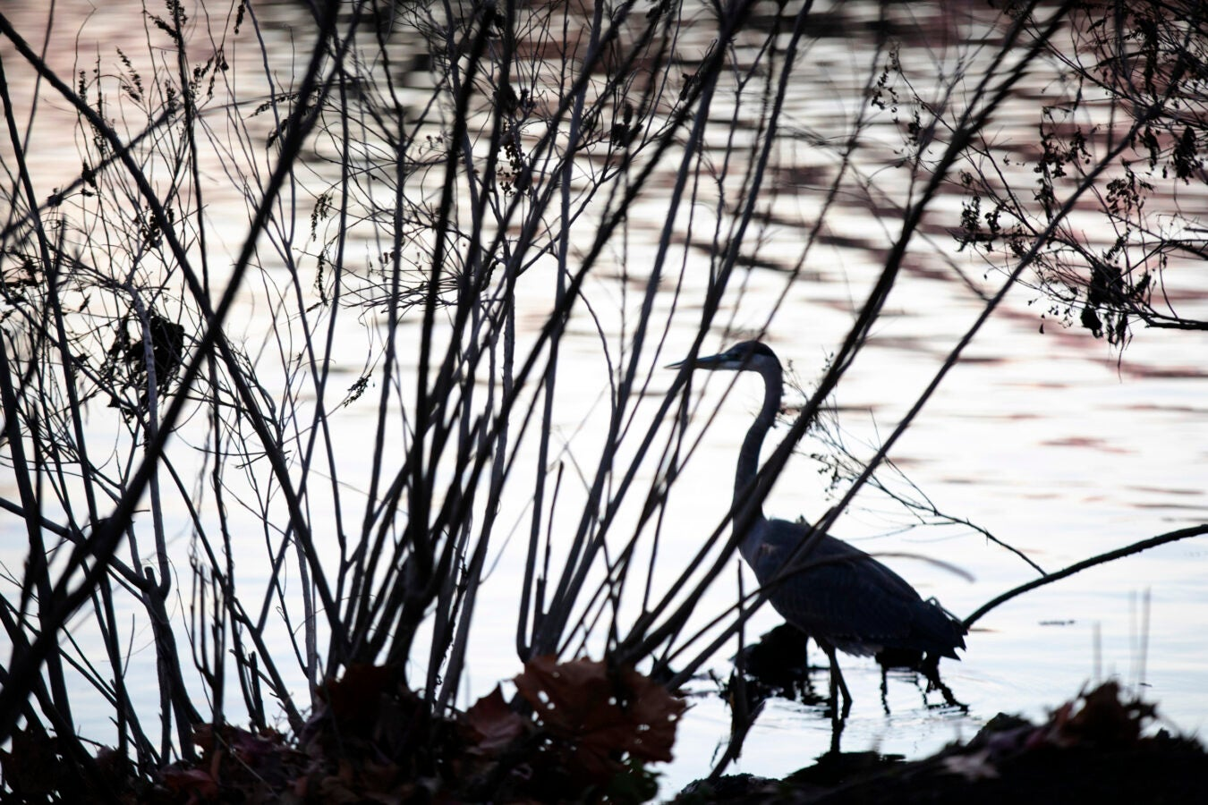 A heron searches for its morning snack at dawn.