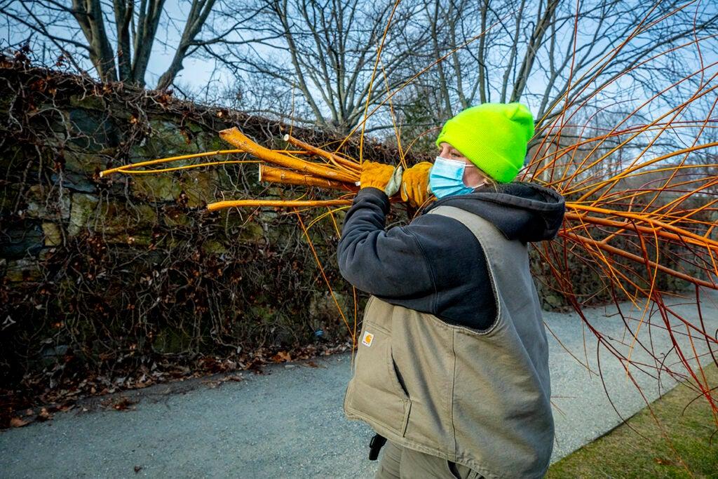 Gardener, Rachel Lawlor, carries an armload of cuttings.