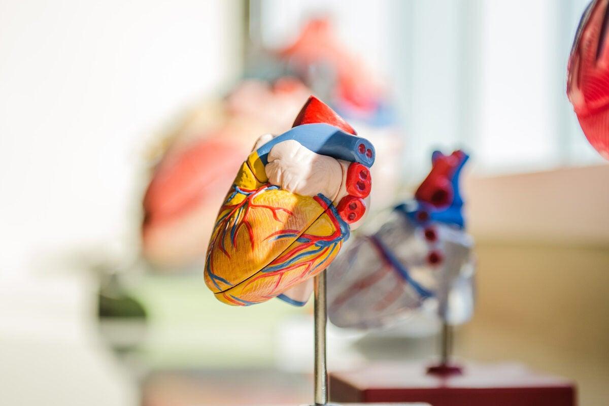 Model heart.