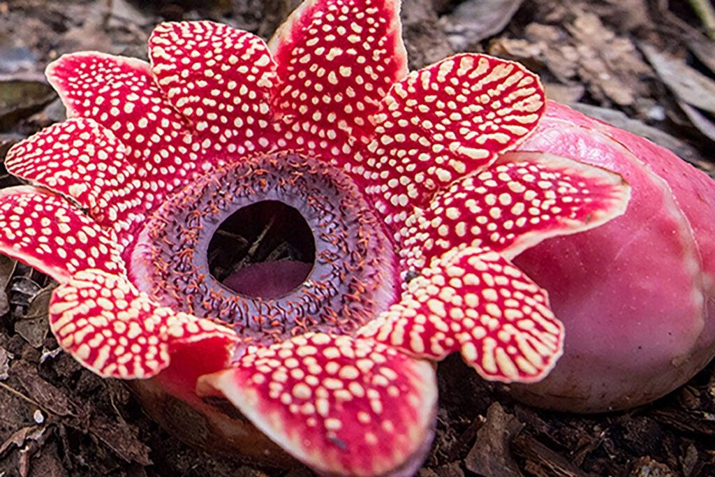 Sapria himalayana flower.