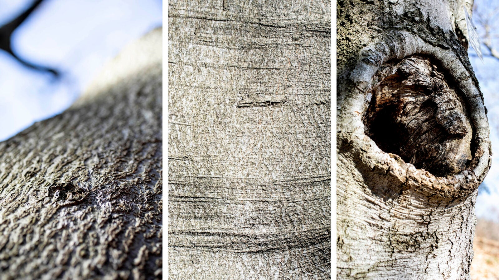 Close up textures of the bark of the Beech Tree collection on Beech Path in the Arnold Arboretum.
