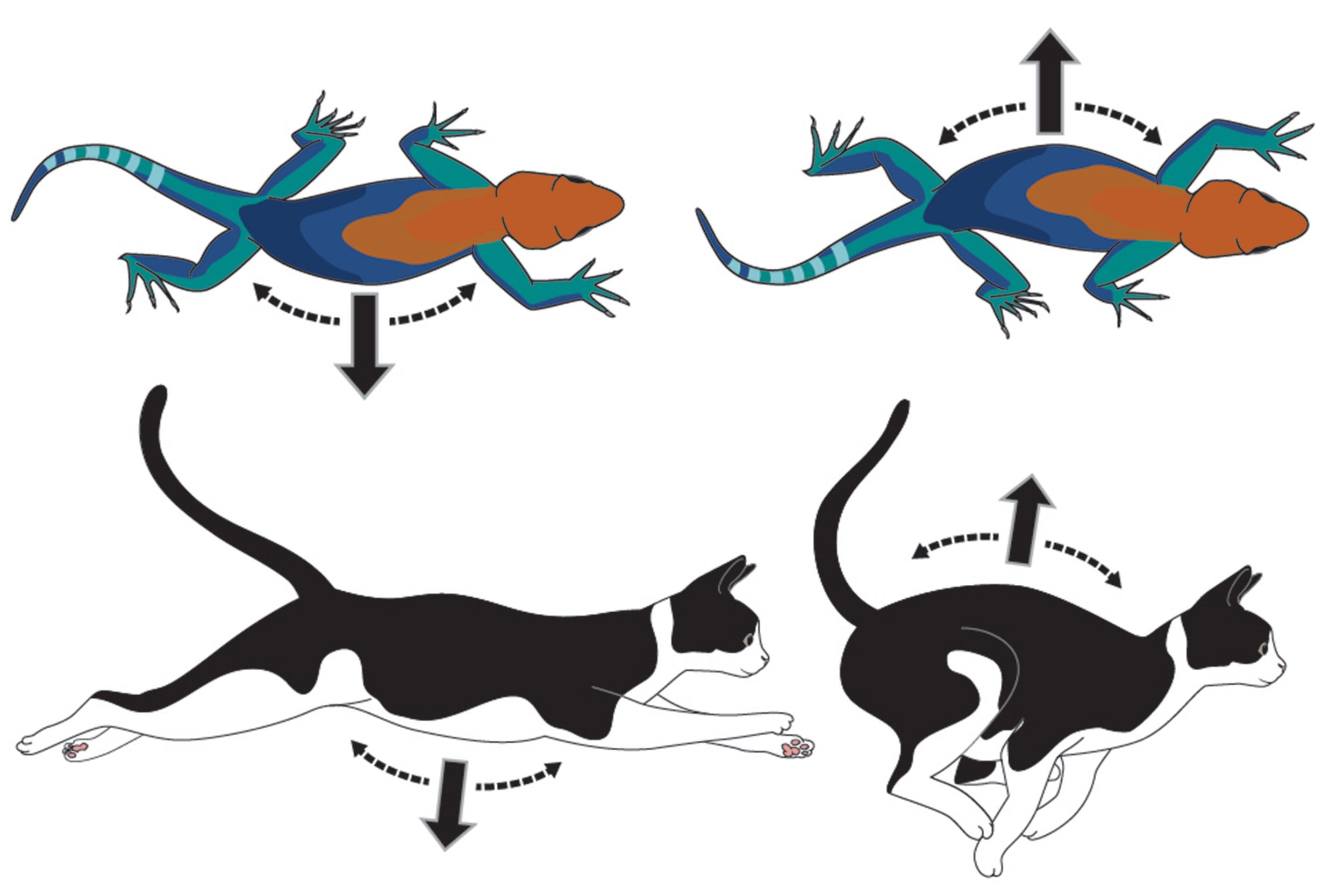 Lizard and cat movements