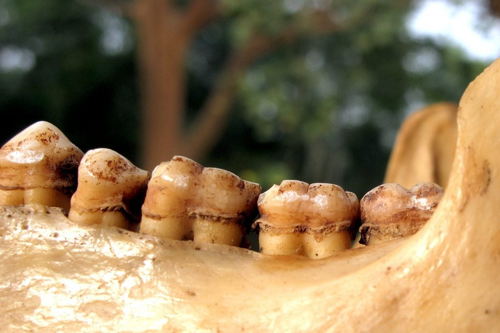 Close up of a row of Chimpanzee teeth.