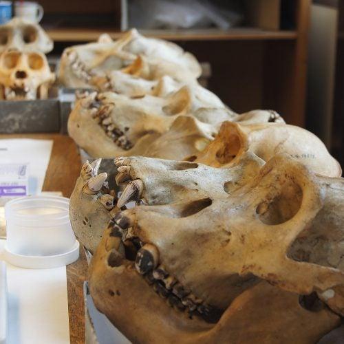 Gorilla skulls.