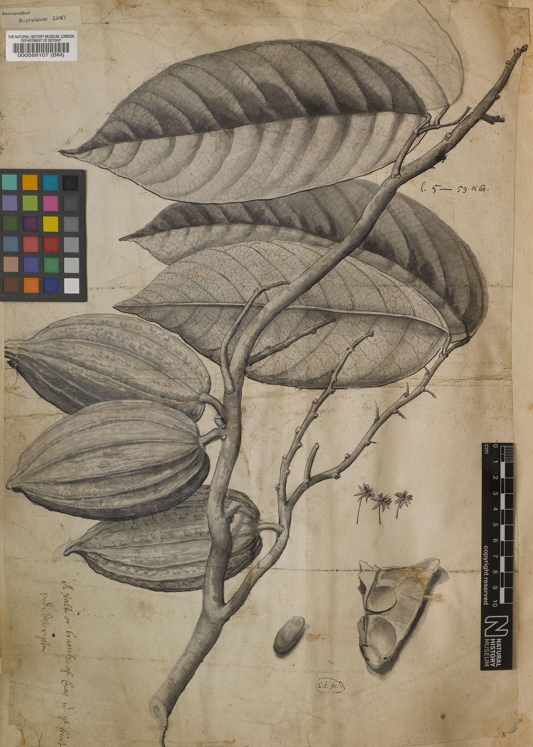 Illustration of Theobroma cacao L.