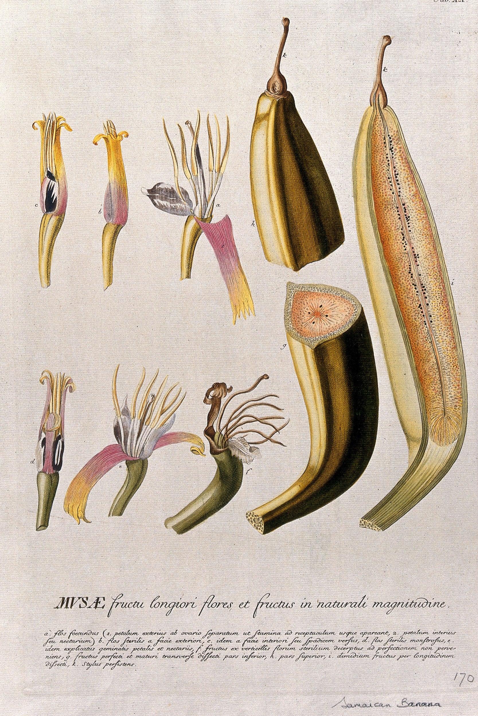 Illustration of Plantain Banana