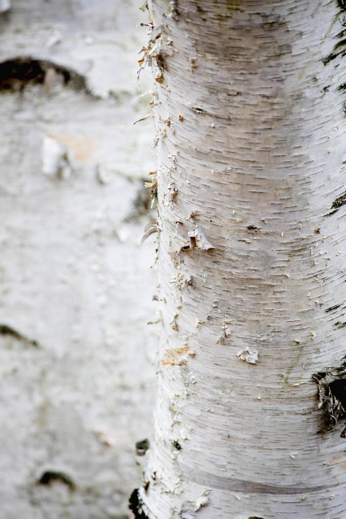 The bark of a birch (Betula) at Arnold Arboretum.