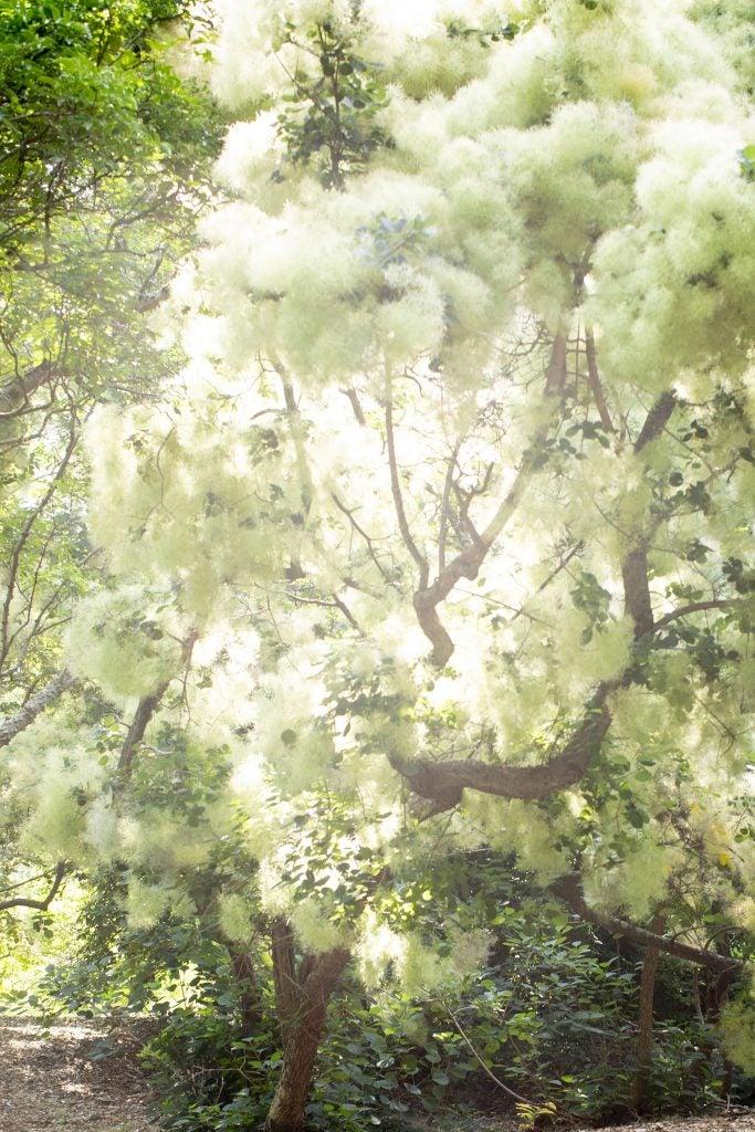 A smoke tree (Cotinus coggygria) at the Arboretum.