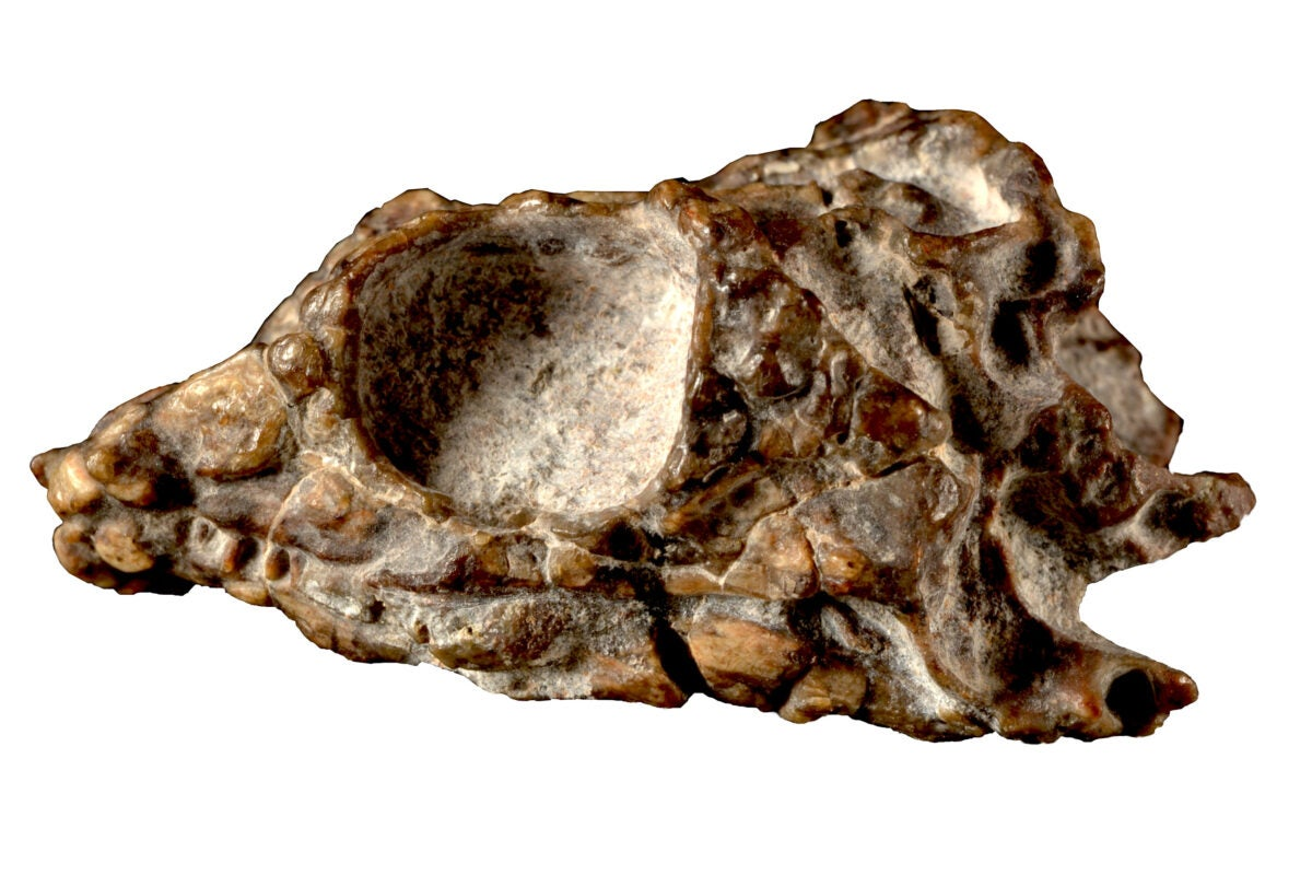 A 231-million-year-old reptile skull.