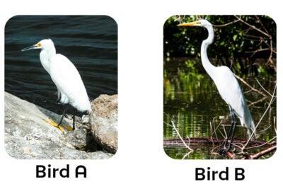 Egrets/