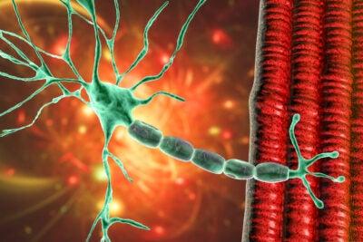 Muscle neuron.